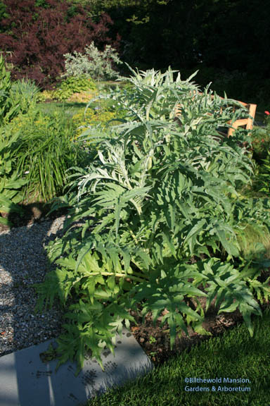 Cardoon with my shadow for scale!