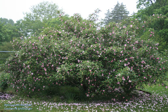 The Chestnut rose - Rosa roxburghii blooming just in time for the Annual Meeting