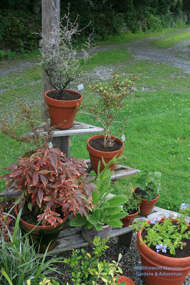 an unorganized array of single plant pots - when we finish planting I'll start obsessing about combos!