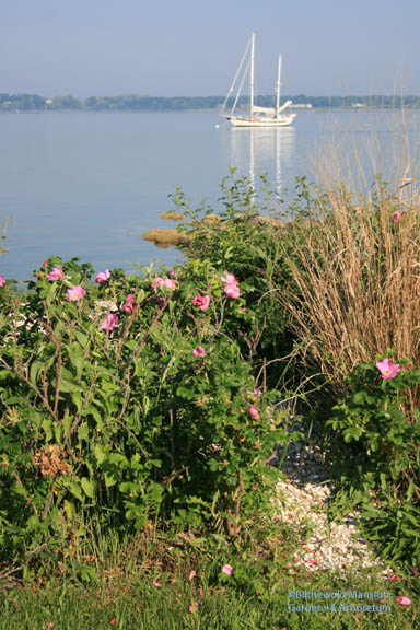 Rosa rugosa or beach rose on a still, hot morning