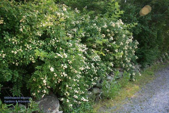 Rosa multiflora - on the very invasive list but smells like heaven