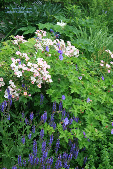 Salvia 'Blue Hills', Rosa 'Ballerina' and Geranium 'Rozanne' - a North Garden close-up.