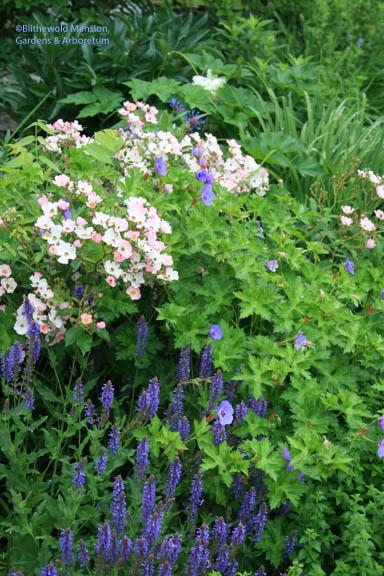 Salvia 'Blue Hills', Rosa 'Ballerina' and Geranium 'Rozanne' - a North Garden close-up.