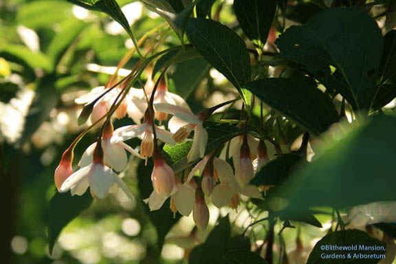 Styrax japonicus 'Pink Chimes' - Japanese snow bell