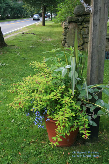 The roadside mixed container: fuchsia, phormium, plechtranthus, impatiens, and lobelia - you name it, it's in there!