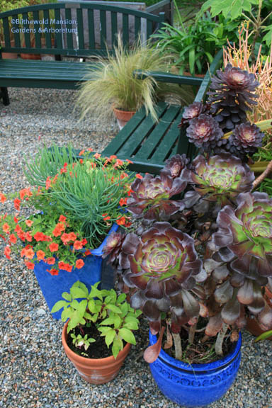 Calibrachoa and Senecio combo on the left.  An outstanding Aeonium is in the other blue pot.
