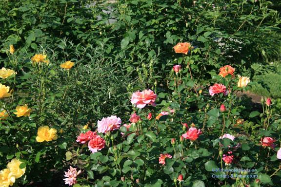 A sweet Rose Garden combo - Morning Has Broken, Lilian and Pat Austen