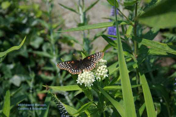 a butterfly on the millkweed (Asclepias)