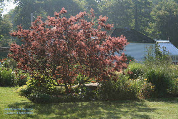 Red (Cotinus coggygria - purple smoke bush)