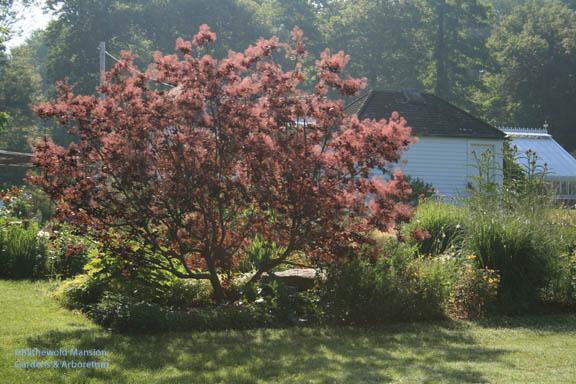 Red (Cotinus coggygria - purple smoke bush)