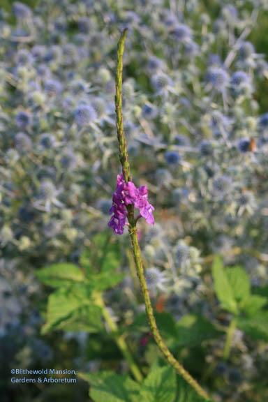 Stachytarpheta urticifolia