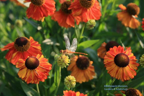 Helenium 'Moerheim Beauty' and a dragonfly with cellophane wings…