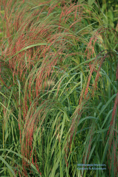 Ruby Silk Love Grass (Eragrostis tef)