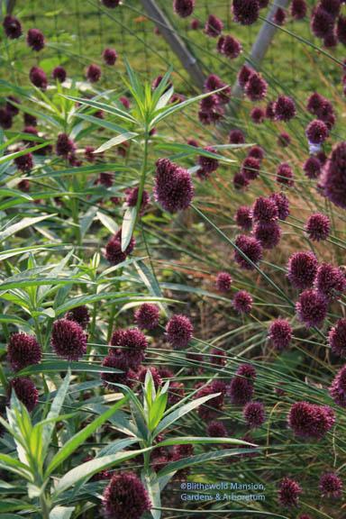 Drumstick allium (Allium sphaerocephalon)