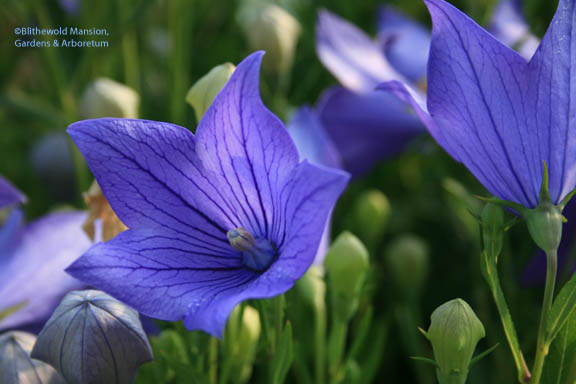 Balloon flower - Platycodon grandiflorus - again, bluer than this picture!