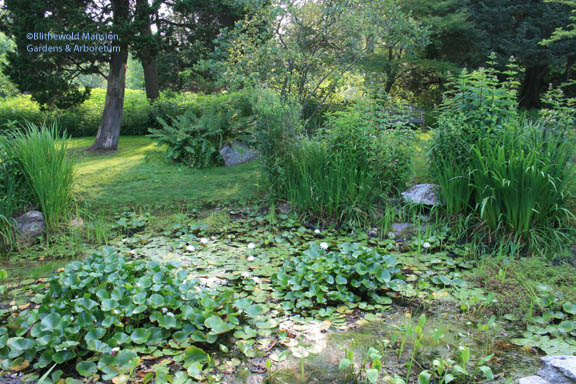 The pond is drying up but the waterlilies are still blooming away