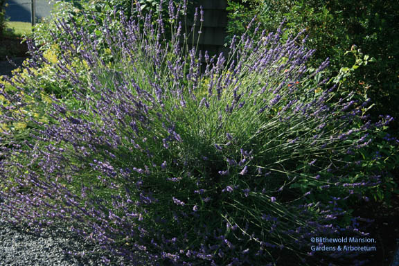 Lavender - my all time favorite perennial