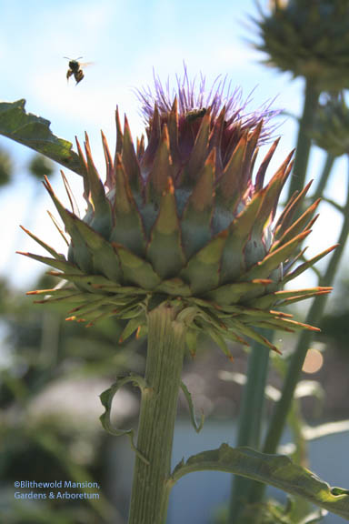 The first cardoon flower