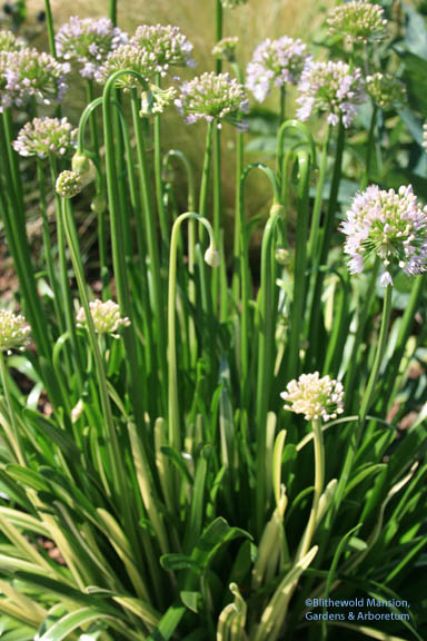 Allium 'Pelham Hill'
