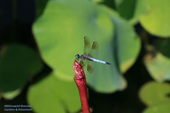 Not a bloom - a dragonfly on the pitcher plant!