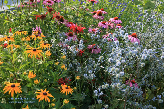 a circus mix of echinacea, eryngium, monarda and rudbeckia