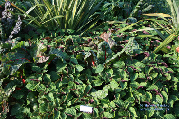 Swiss Chard and Plectranthus fruticosus - Hank and Patsy singing the same song