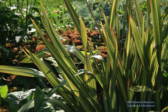 alt rock Phormium and plectranthus fruticosa