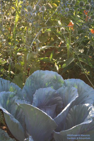 Cabbage on bass and eryngium snare drum