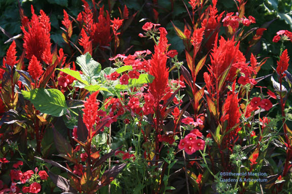 LOUD!  Celosia 'China Town' and Phlox drummondii 'Scarlet'