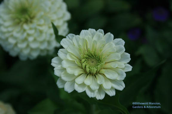 Zinnia 'White Wedding'