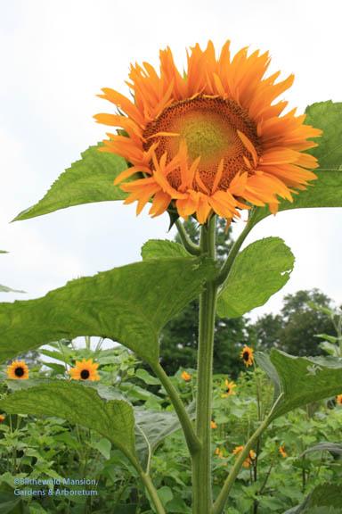 Sunny sunflower looking ahead to tomorrow