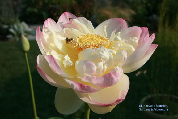 honey bees in the lotus