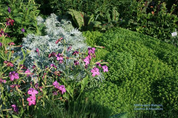 Ocimum basilicum 'Pistou' mid July, before it bolted