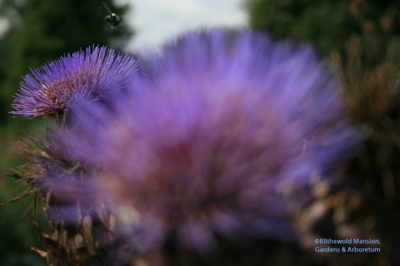 scratch 'n' sniff cardoon flower