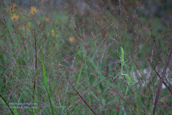 Praying mantis in the Panicum virgatum 'Shenandoah'