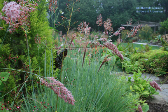 Melinis nerviglumis 'Savannah' (Pink paintbrush grass)