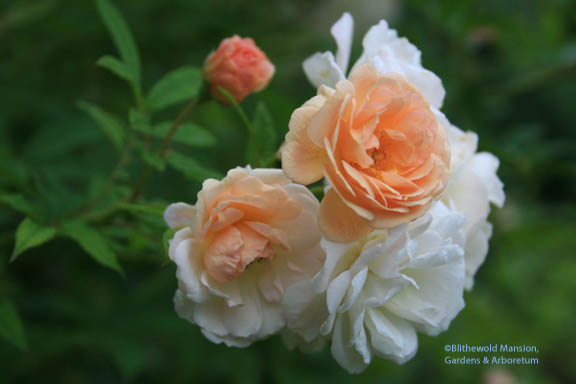An un-named rose in the Rose Garden.  It's a large shrub with small peachy flower clusters - anyone know its name?