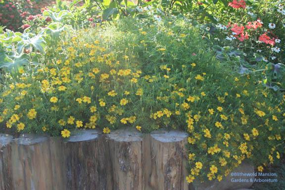 Tagetes tenuifolia 'Lulu' - marigold