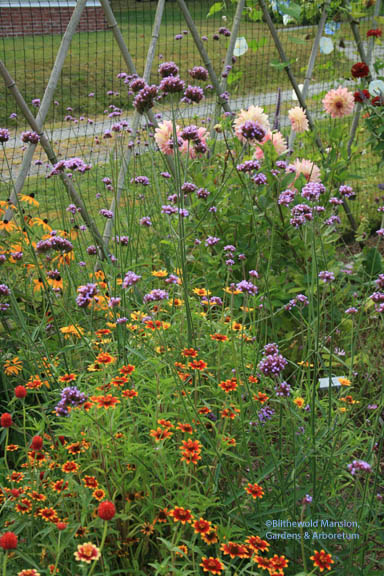 Verbena bonariensis and Zinnia 'Persian Carpet'