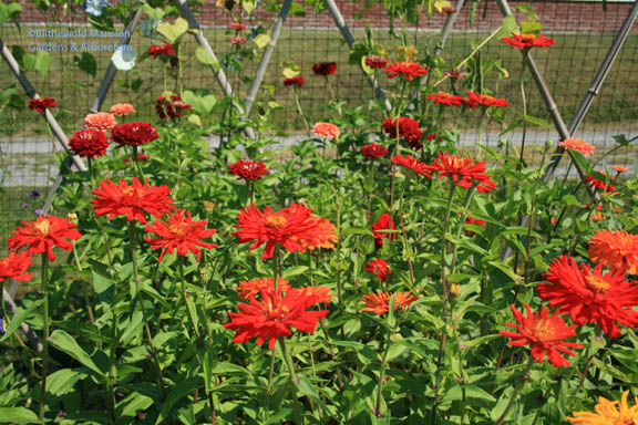 Zinnias - Cactus and Benary