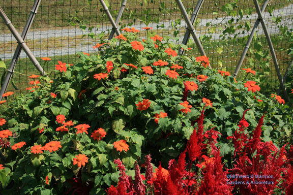Tithonia 'Fiesta Del Sol' (Mexican sunflower) and Celosia