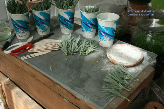 preparing lavender cuttings