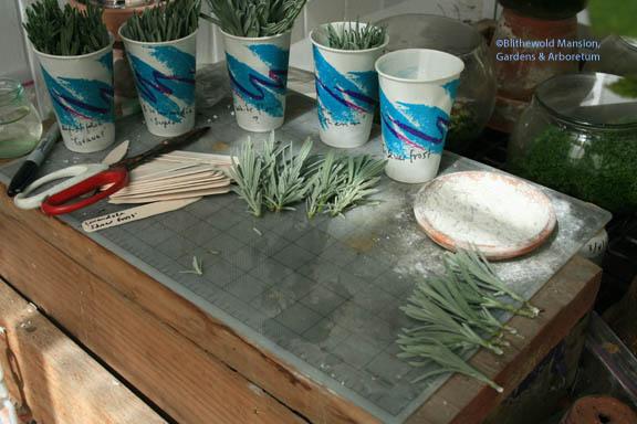preparing lavender cuttings