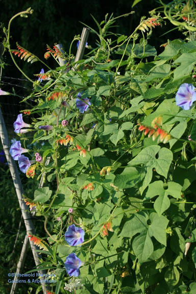 Morning Glory and Mina citronella (looking more like Mina lobata though…)