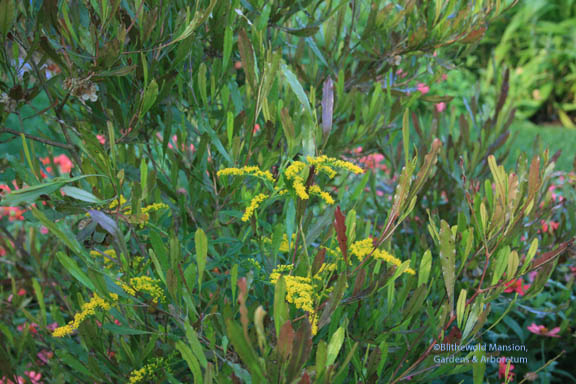 Goldenrod (Solidago) coming up through the Hop bush (Dodonea viscosa)