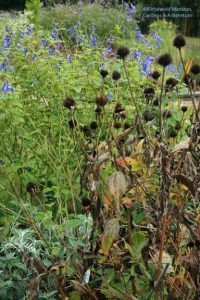 Echinacea seed heads and Salvia guaranitica