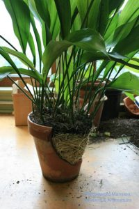 An aspidistra break out