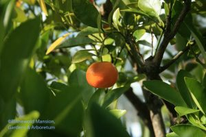 a tart Calamondin orange