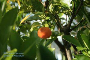 a tart Calamondin orange