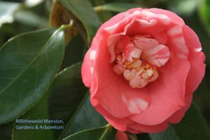 Camellia chandlerei - a perfect old fashioned Valentine